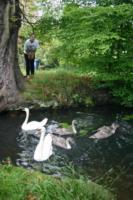 Schwäne Teich Wald