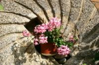 Mühlstein Blume