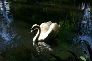 Schwan Teich
