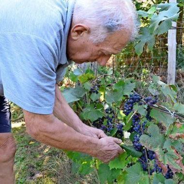 Dietfried Röthel bewirtschaftet alten Weinberg